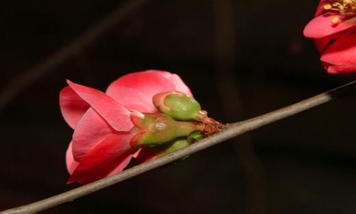 Pink High-wire Bud