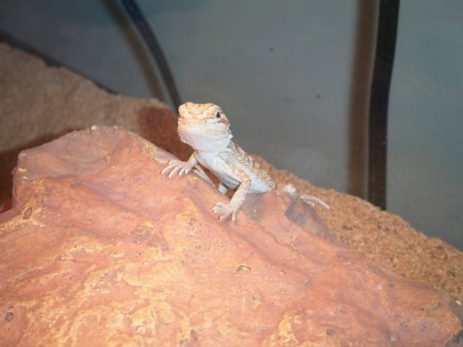 Winks, my bearded dragon, as a baby.