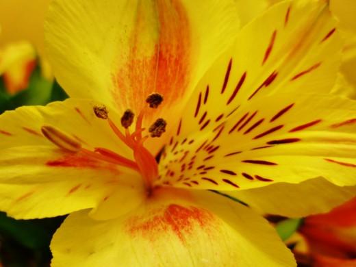 Close-up of alstroemeria flower