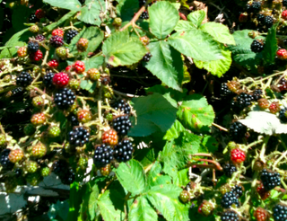 Blackberries, ready to pick and turn into lovely freezer jam.