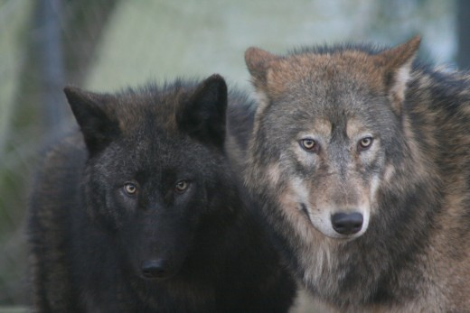 The DNA of wolves and dogs is almost identical, according to Cesar Milan.