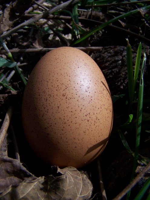 Rhode Island Red Chicken Egg