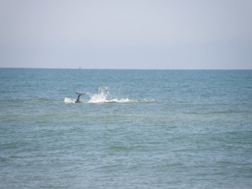 Dolphin's Play - Photography by Vicki Parker