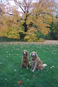 Golden Retreiver Devotion - Dusty and Gordie - A Poem Celebrating Love