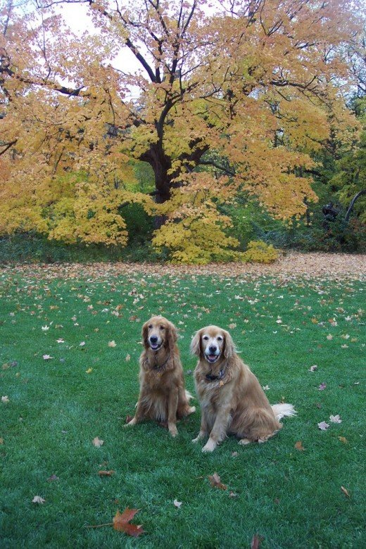 Two Golden Retrievers in an Autumn Setting