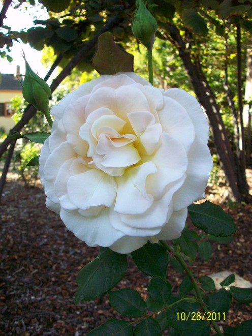 The rose garden at Shinn Historical Park and Gardens in Fremont, California