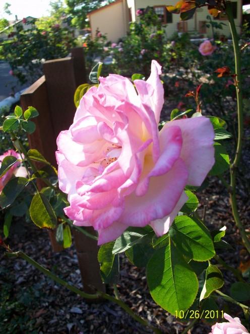 The rose garden at Shinn Historical Park and Gardens in Fremont, California