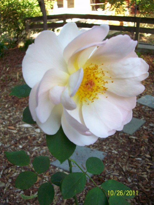 The rose garden at Shinn Historical Park and Gradens in Fremont, California