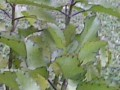 Kalanchoe Pinnata or The Wonder of the World Plant