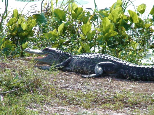 Alligators are one of the Park's most famous residents.
