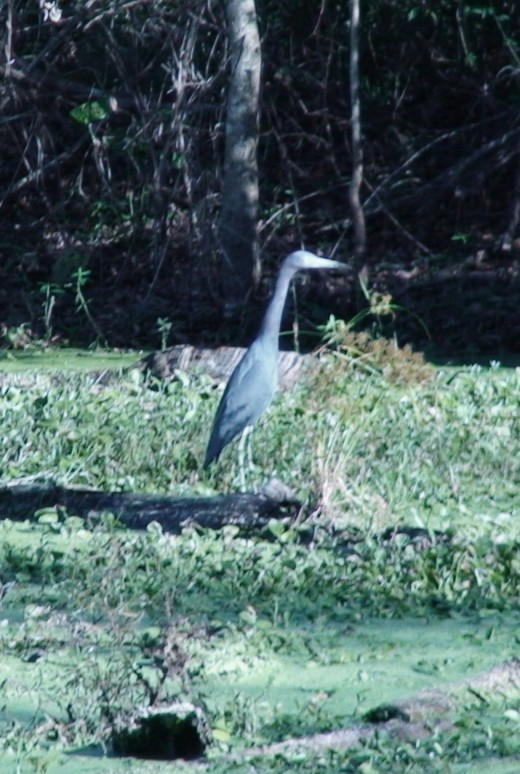 Blue Herons are a migratory wading bird that are attracted to the park's marshes.