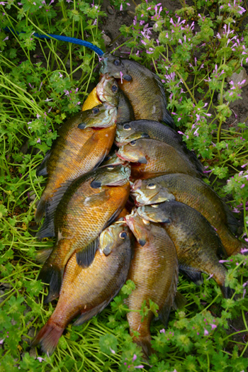 Farm Ponds are a great place to catch Bluegill.