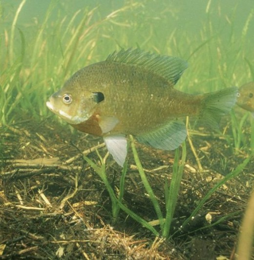 Notice The Bluegill here in the weed bed. Often you will find the bluegill in schools of 15 - 20 fish and be able to catch 8 to 10 quickly.