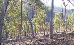 Eucalytus forest