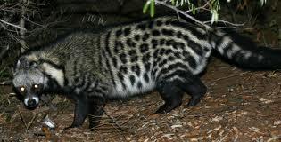 Civet Cats