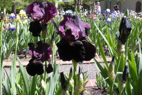 Photo 6 - There is almost a reddish or magenta color mixed in with these nearly black irises.