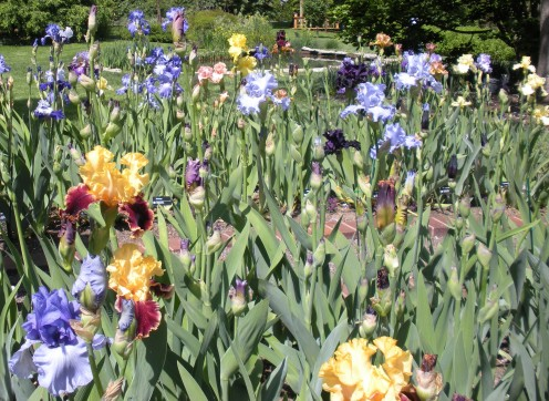 Photo 6 - More colors of irises,which I think are so beautiful.