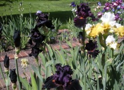 Black or Nearly Black Flowers - A Gallery