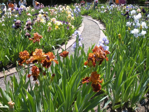 Photo 6 - Irises growing in the Spring