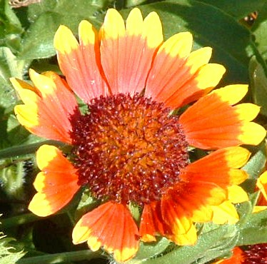 "Flowery inspiration for ""Candy Corn Flower"" Haiku poem. I didn't know the real name of this flower until Homesteadbound clued me in. It's called Indian Blanket, & it's the state wildflower of Oklahoma. Blooms summer to late fall."
