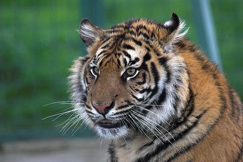 Sumatran Tiger, by Brian Scott