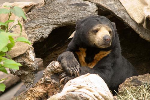Malaysian Sun Bear, by StuSeeger