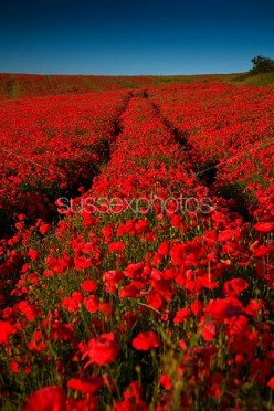 The Poppy Fields of Flanders