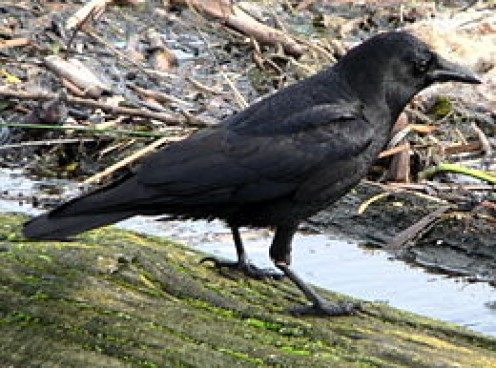 TALKING CROW