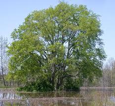 Celtis Tree
