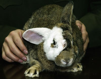 Rabbit Face Transplant (opinion as above).