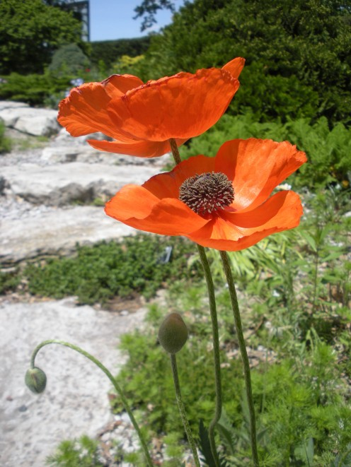 I just love these oriental poppies!  Even the unopened buds are interesting.