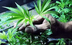 Legalise Cannabis? An insight into terrible side-effects of marijuana
