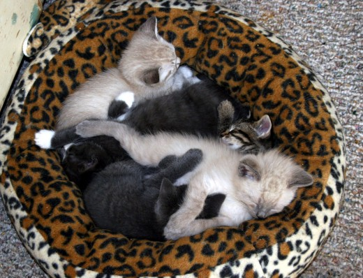 Kittens in their tiger bed. Oct. 30, 2011