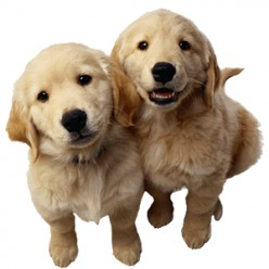 You're Going to Buy a Dog: Part 2. Puppy vs. Adult Dog