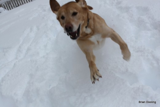 Funny photo of Marley jumping out of the snow