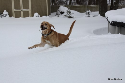 Marley hopping around in the deep snow, it was the only way he could get around! (January 2011)