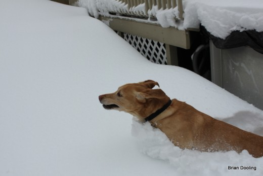 Marley swimming through the snow (January 2011)
