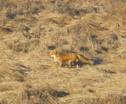 Elegy for a Fox