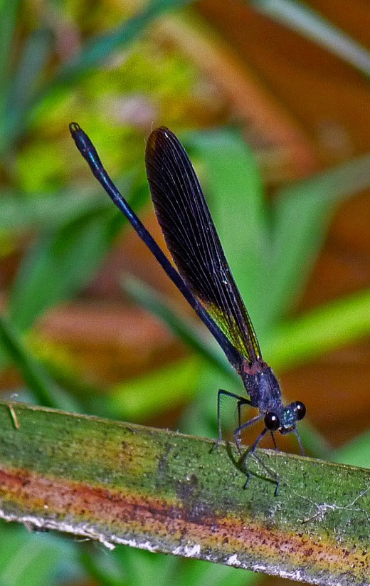 Dark Damselfly