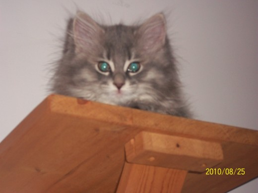 Picture of Fuzzball. She managed to climb up to a very high shelf we have in the house.
