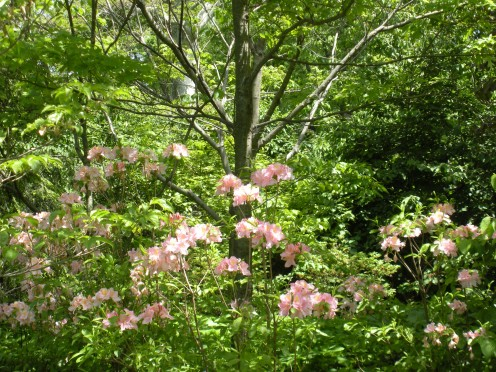 Some pink rhododendron flowers growing in a woodland garden.