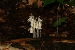 The Ghost Flower: Photographs of Monotropa Uniflora