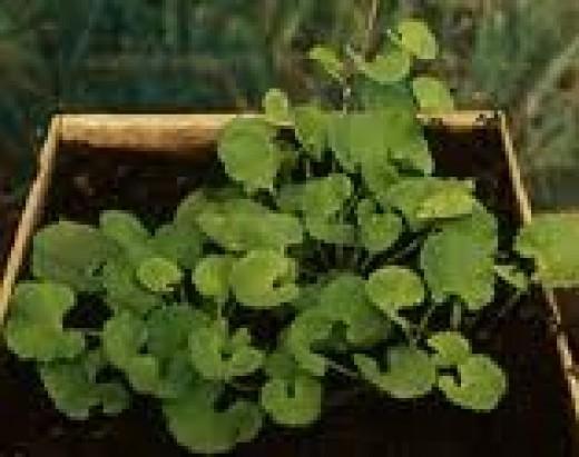 Gotu Kola, the miracle herb.