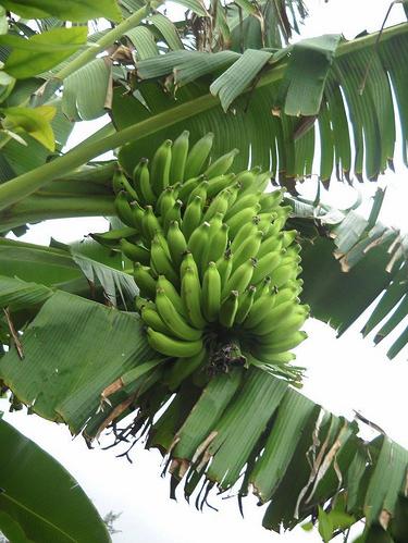 Grandpa's Honey Bananas Copyright Ruth Kongaika