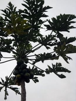 Papaya Tree with fruit Copyright Ruth Kongaika