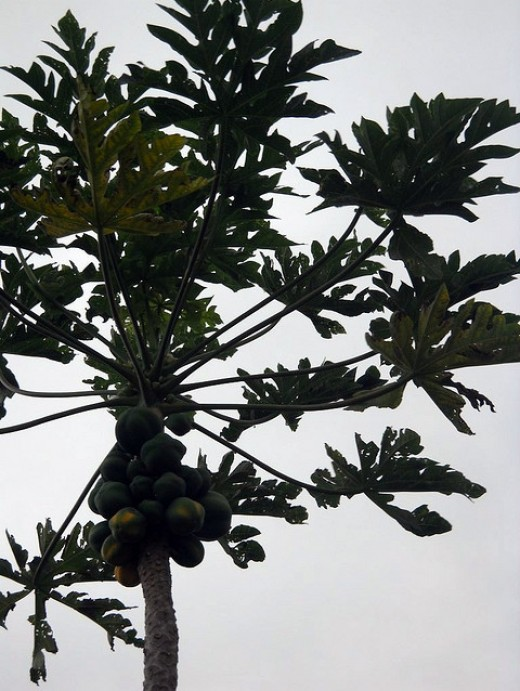 Papaya Tree with fruit Copyright Ruth Kongaika