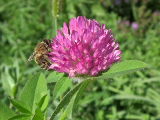 Bee on Red Clover – photo by timorous
