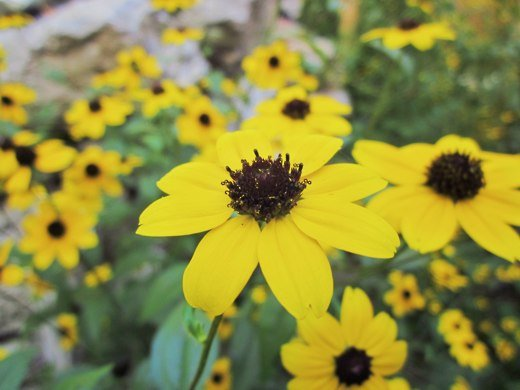 Black-eyed Susan – photo by timorous