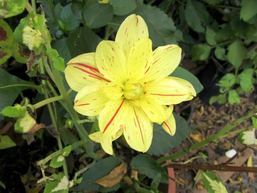 Yellow Dahlia – photo by timorous