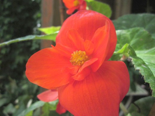 Orange Begonia – photo by timorous